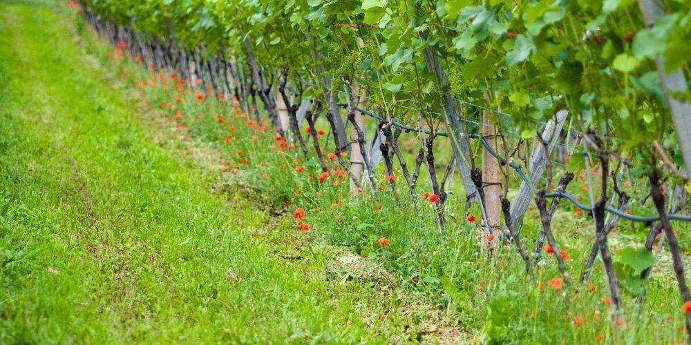 Biodiverstität fördern mit Wein in Brandenburg